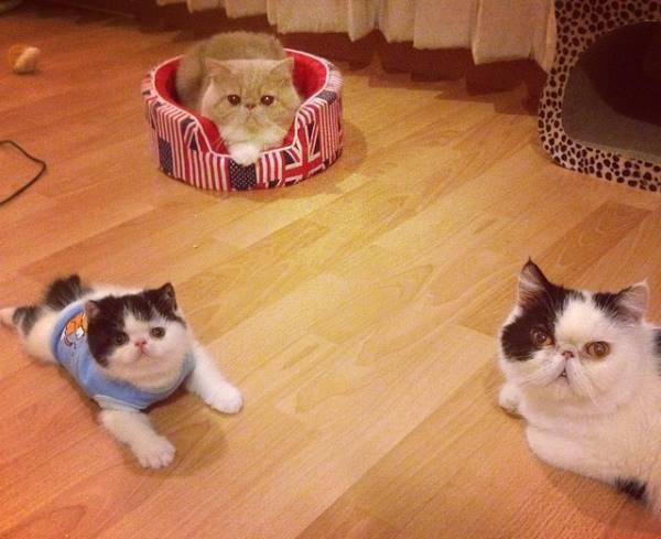 Exotic Shorthair Cat Family