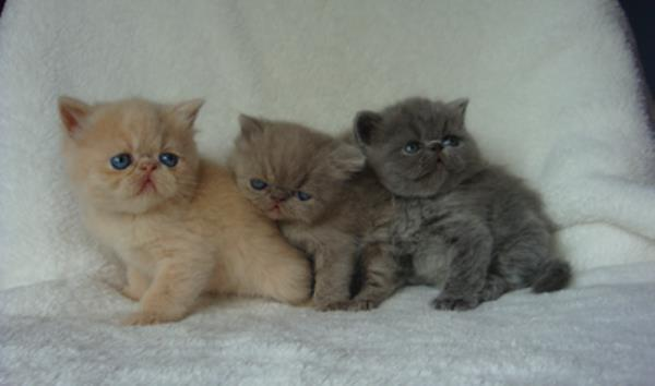 Exotic Shorthair Cats Pictures