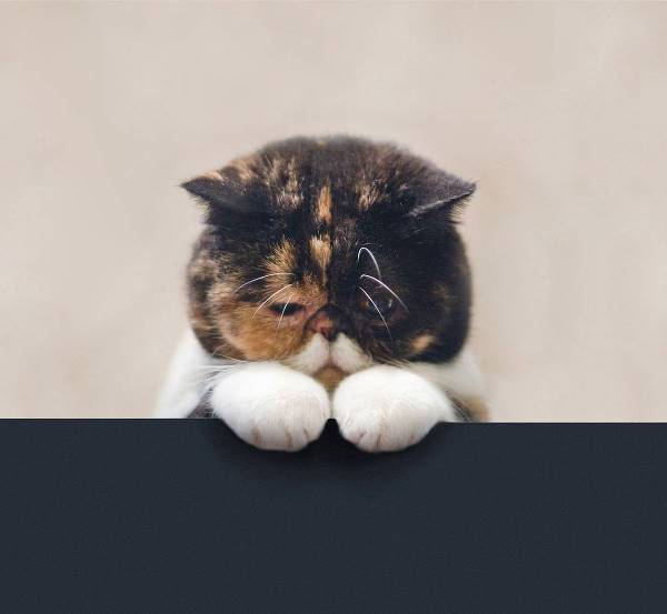 Exotic Shorthair Cats Pudge