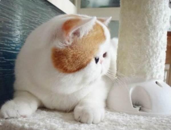 Flatface Cat
