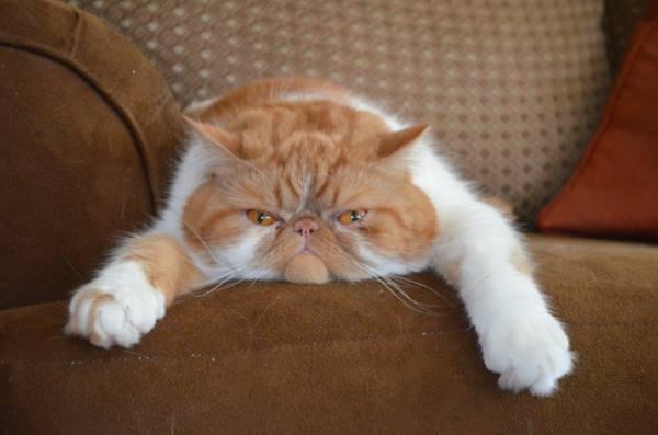 Funny Exotic Cat