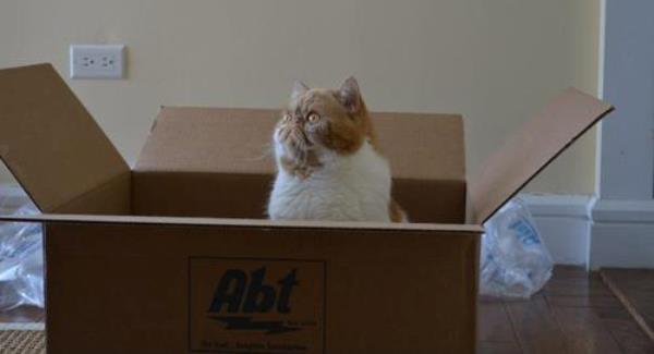 Shorthair Cat In A Box