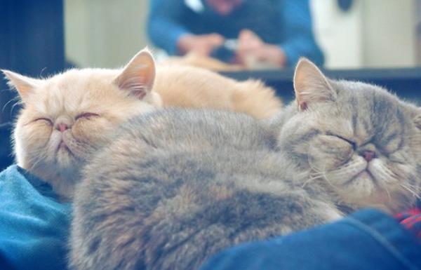 Sleeping Exotic Shorthair Cats