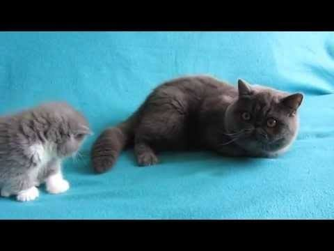 The Cutest Exotic Shorthair Cats The World Has Ever Seen
