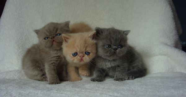 Three Exotic Shorthair Cats