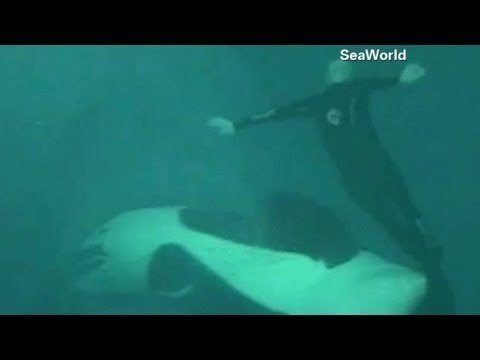 Unbelievable Footage Of A 2006 Orca Attack At Sea World