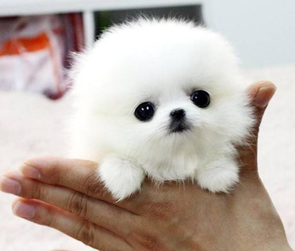 Baby Pomeranian Pictures