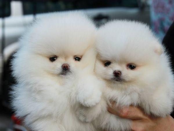 Fluffy White Pomeranians