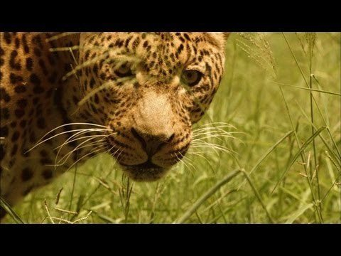 If A Leopard Is Hunting You, You'll Never Know