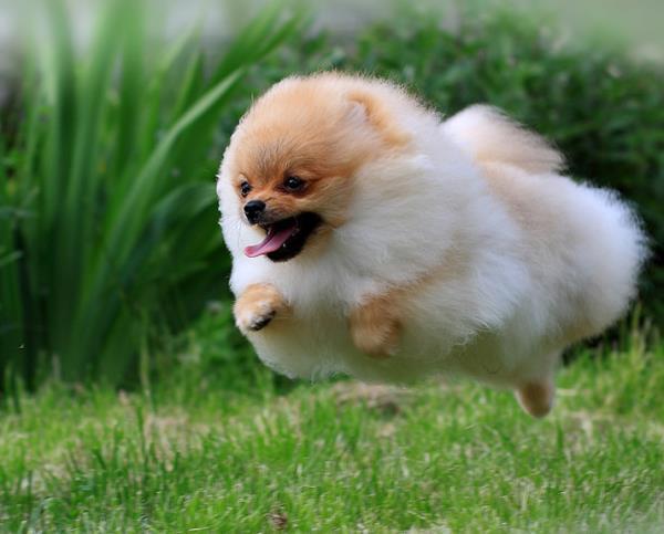 Jumping Pomeranian