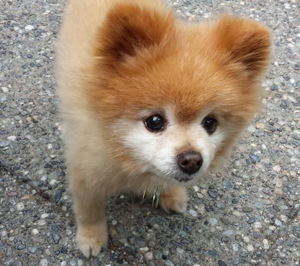 Little Pomeranian