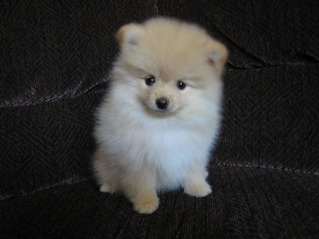 Pomeranian Photos Puppy