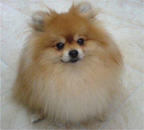 Pomeranian Photos