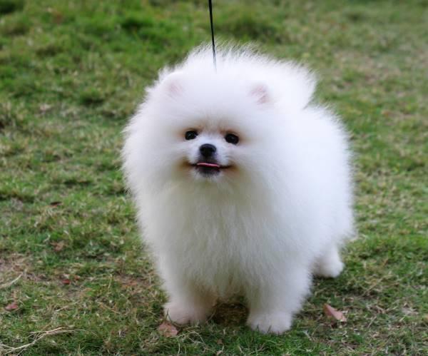 Pomeranian Pictures Tongue