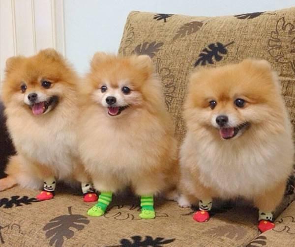 Pomeranians In Socks