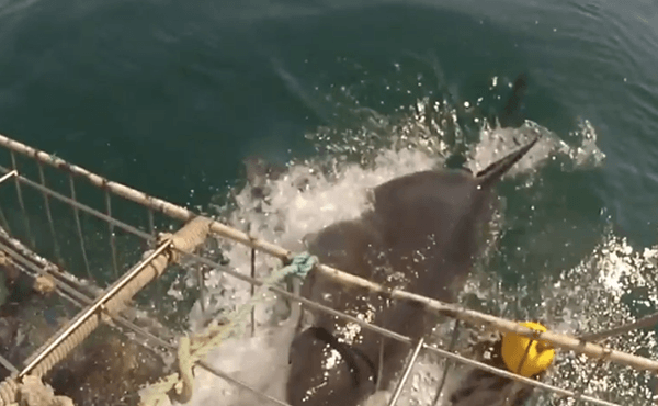 great-white-attacks-shark-cage