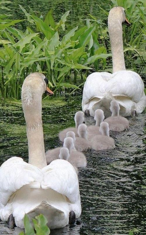 Animal Families Swans