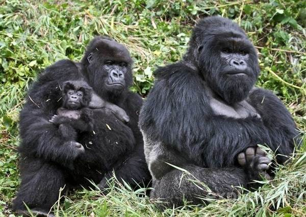 Cute Animal Families Gorillas