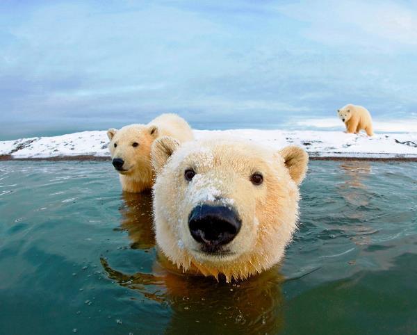 Cute Animal Families Polar Bears