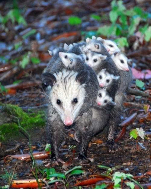 Possum Mom