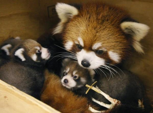 Red Panda Cute Animal Families