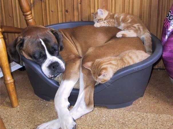 Adorable Cats Using Dogs As Pillows