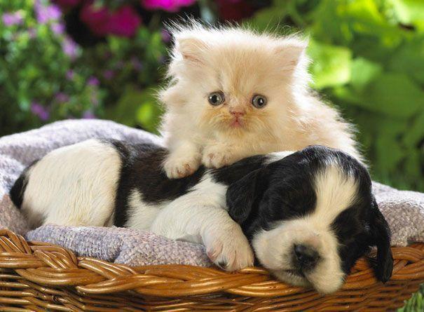 Cats Using Dogs As Pillows Photos