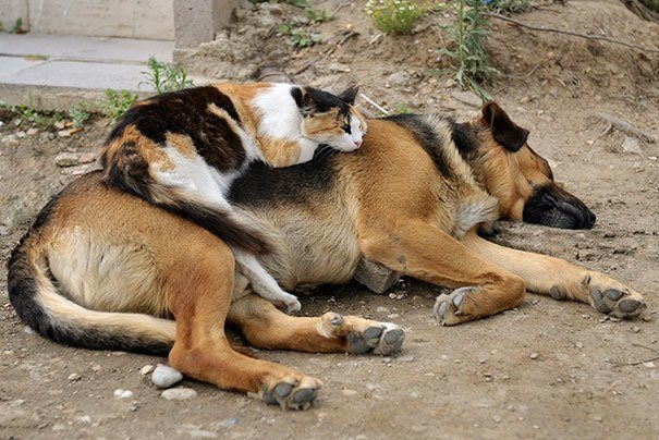 Cute Cats Using Dogs As Pillows