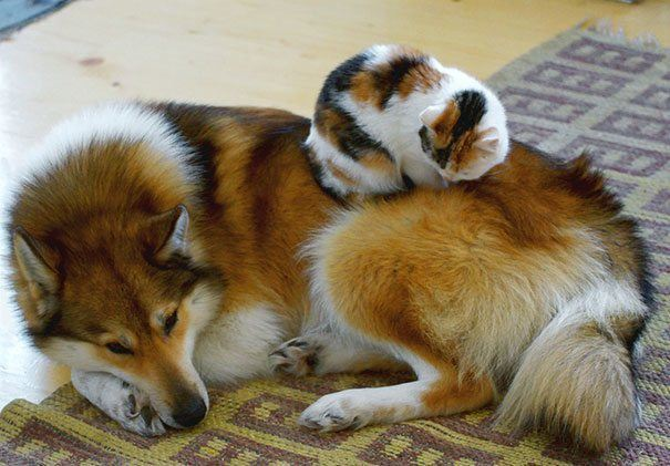 Kitten Asleep On Dog
