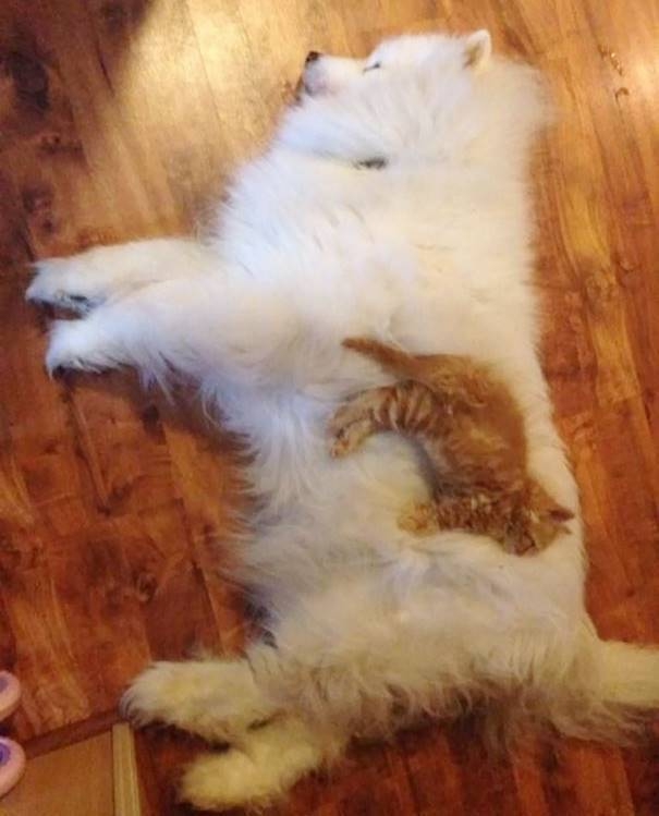 Kitten Laying On Dog