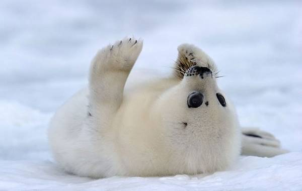 Adorable Harp Seal