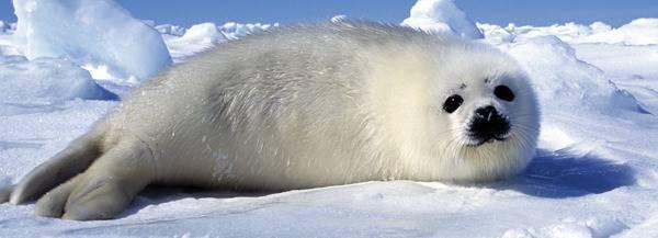 Arctic Harp Seal