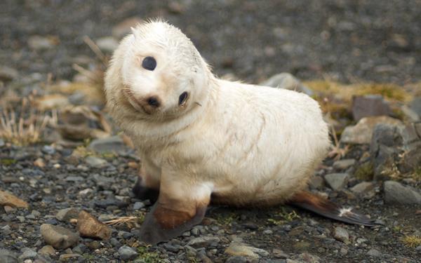 Baby Arctic Harp Seal