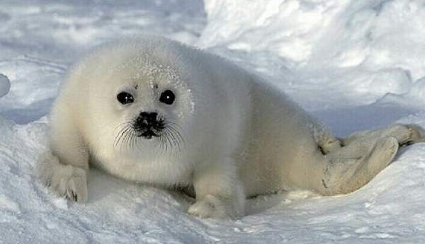 Baby Harp Seal Pictures