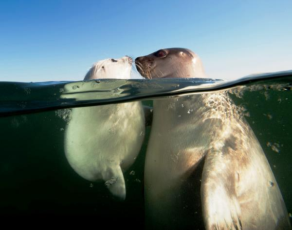 Baby Harp Seal Under Water