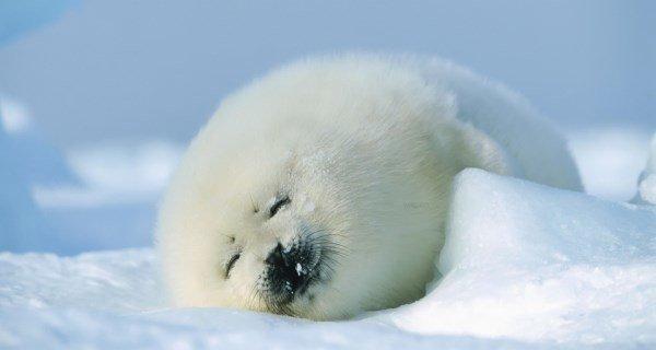 Cute Arctic Harp Seals
