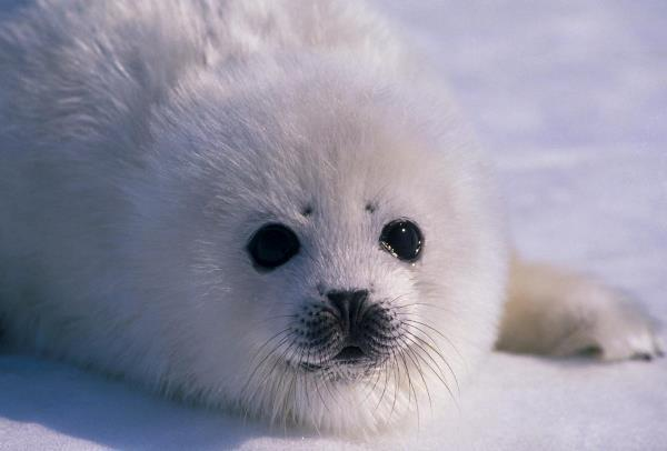 Cute Harp Seal Pictures