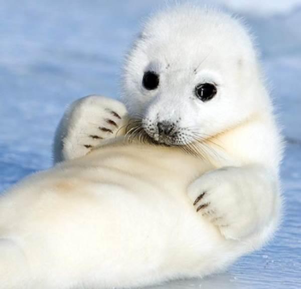 Cute Harp Seal