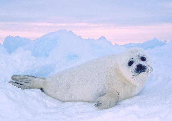 Funny Harpseal