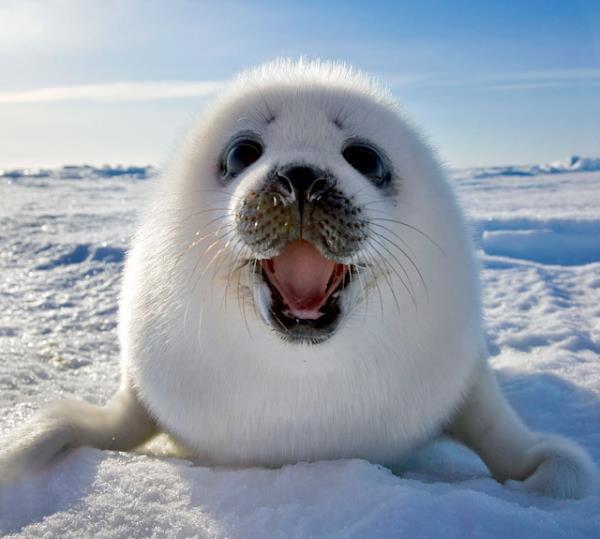 Happy Harp Seal