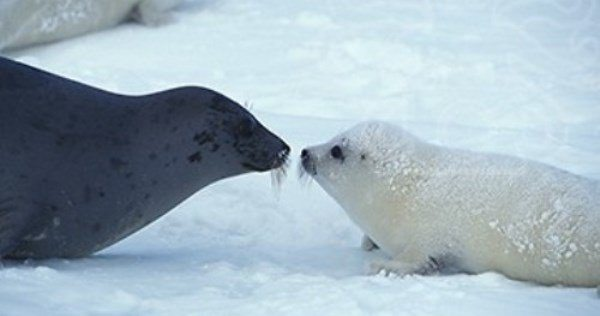 Harp Seal Family