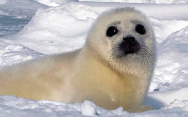 Harp Seal Photographs
