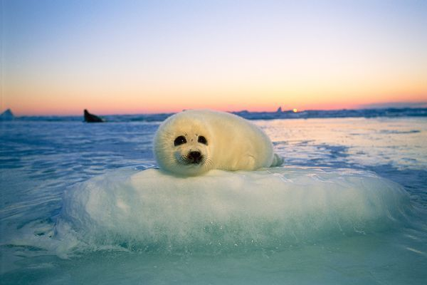 Harp Seal Pictures Pup