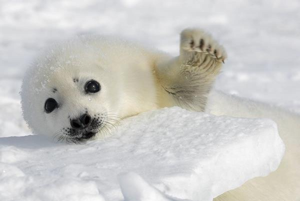 Harp Seal Pictures Reaching