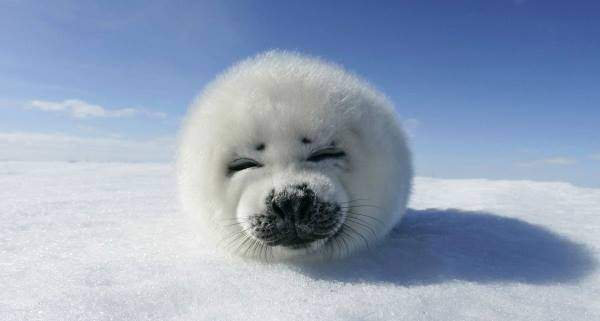 Harp Seal Pictures