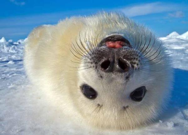 Harp Seal Upside Down