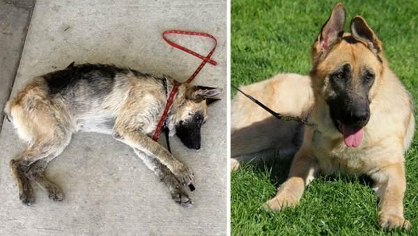 Rescued German Shepherd