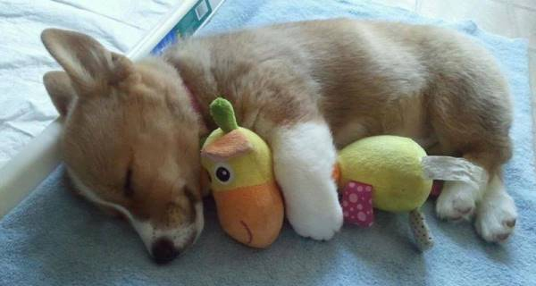 Corgi And Toy