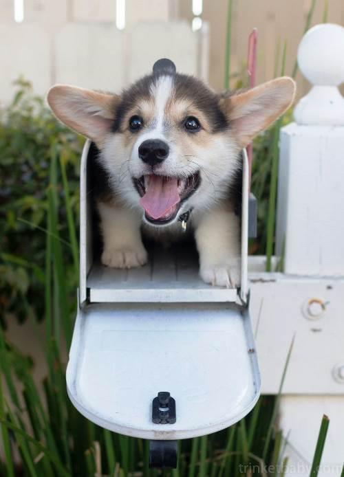 Corgi Mail