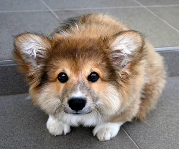 Fluffy Corgi